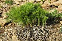 صادرات گیاهان دارویی کاهش یافت