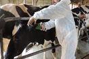 پلاککوبی بیش از 97 هزار راس گاو در سیستان و بلوچستان