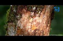 انفجار مورچه انتحاری/ روش دفاعی مورچه های کلوبوپسیس (Colobopsis)